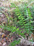 Fortune's holly fern