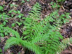 Glade fern,<BR>Narrow-leaved glade fern,<BR>Narrow-leaved spleenwort