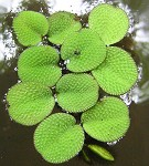 Water spangles,<BR>Floating fern,<BR>Salvinia