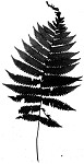 Downy shield fern,<BR>Tapering tri-vein fern,<BR>Downy maiden fern