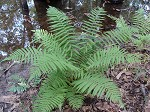 St. John's shield fern,<BR>Variable maiden fern